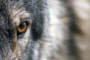 Close up of a wolf's face